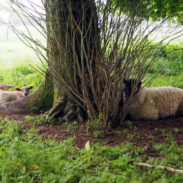 sheep taking shelter under a tree