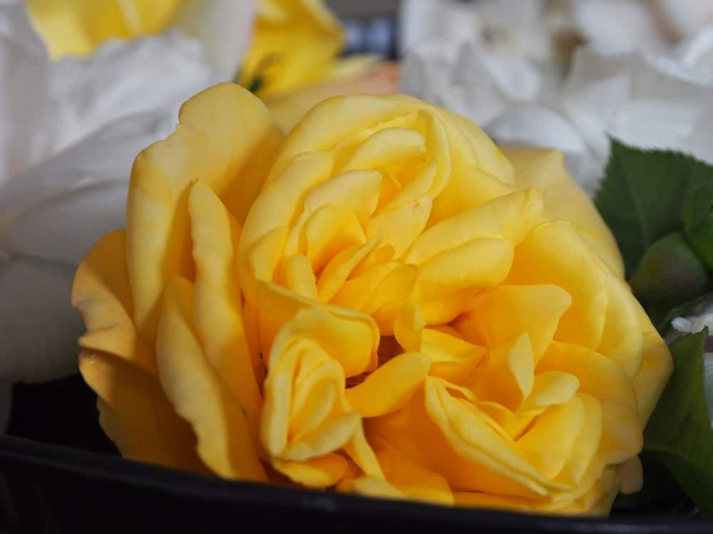 close up of Yellow Rose using Olympus OM-D